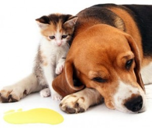 pet-dog-cat-urine-on-carpet